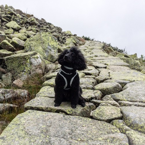 Mr Dog in Karkonosze Mountains