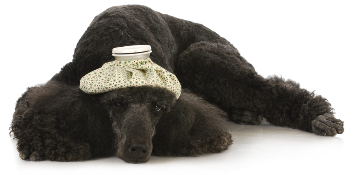 problemy z żołądkiem u psa objawy