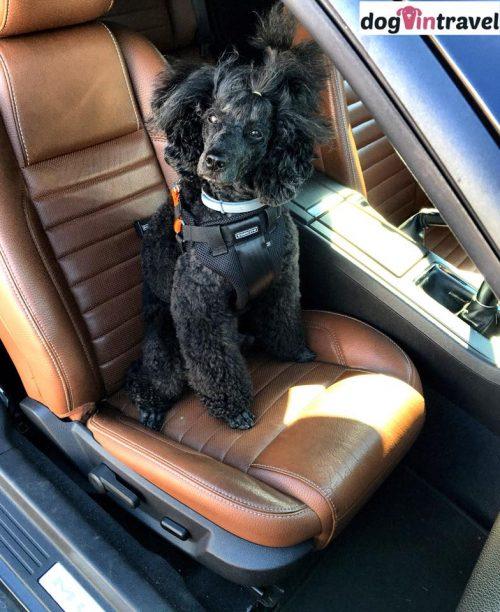 Czy pies w samochodzie musi byćprzypięty pasami?
