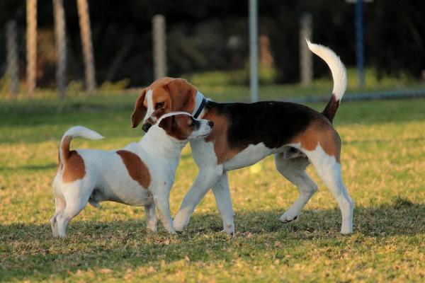 Taniec powitalny samców, czyli trochęo psiej komunikacji