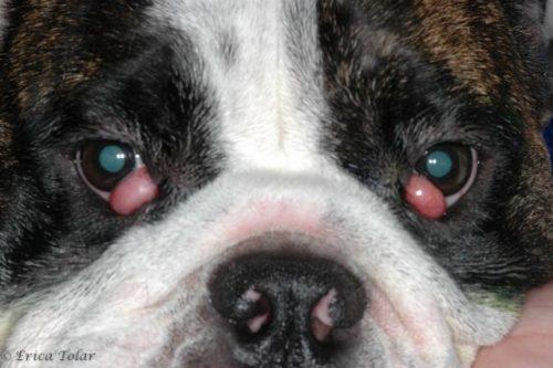 Problemy z oczami u psów. Zapalenie spojówek czy coś poważniejszego?